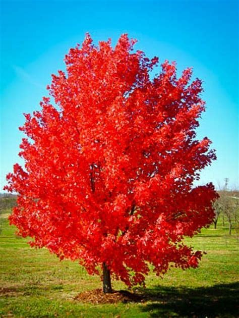 buy a maple tree october maple