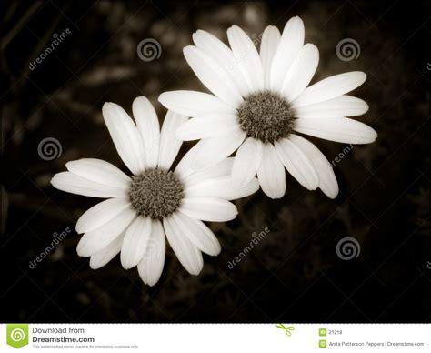 fotos blanco y negro hacer dos margaritas simples fotos de archivo libres de regal 237 as