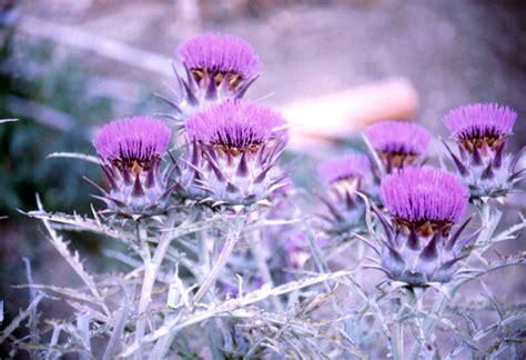 fiore carciofo fiori di carciofo scheda foto fotoantologia