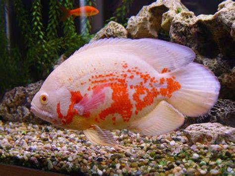 Pakan Ikan Hias Oscar tips cara merawat dan memelihara ikan oskar dunia akuarium