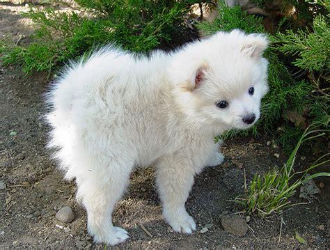pomeranian puppies reno nv the white half pomeranian half poodle puppy at my s house reno nevada