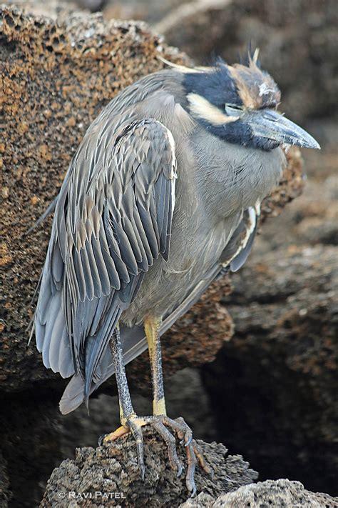 Galapagos BIrds – Heron | Photos by Ravi