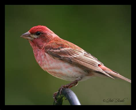 purple finch male flickr photo sharing