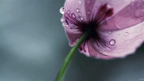 Blume Mit Rosa Blüten by Die 65 Besten Lila Blumen Sch 246 Ne Hintergrundbilder