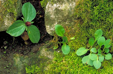 plants that grow in complete darkness free picture small dark red blossom green leaves