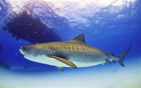 tiger shark 2 50 tiger shark facts cool and informative all five oceans