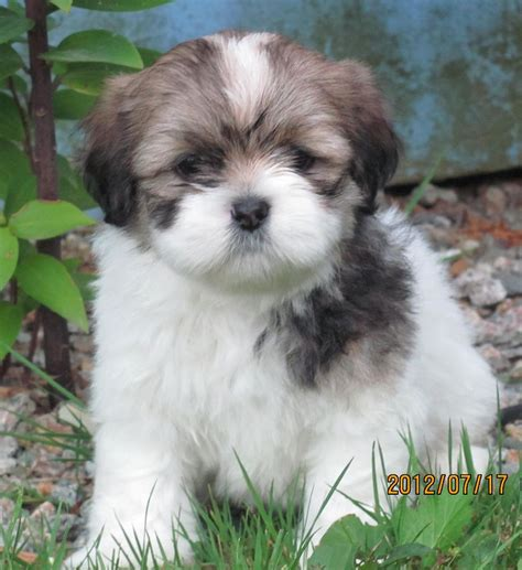 lhasa apso puppies lhasa apso not in the housenot in the house