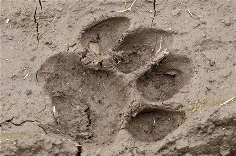 mud pug pugmark a fresh tiger pug in the mud raises the anticipation levels my photo