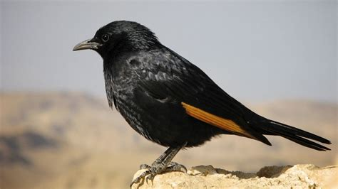tristram s starling wikipedia