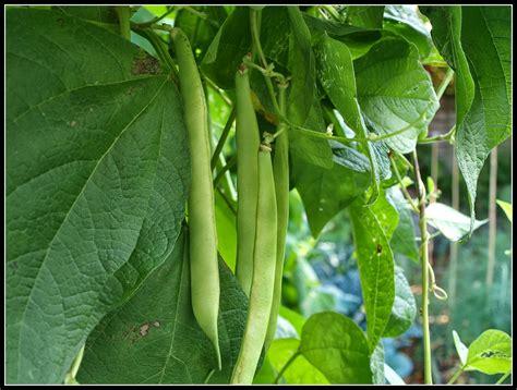 climbing bean plant s veg plot climbing bean quot veitch s quot