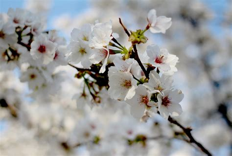 primavera fiori foto gratis primavera fiori di ciliegio immagine