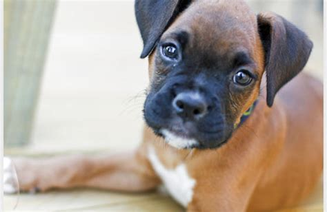 pug and boxer mix puppies boxer mix puppy that is puppy