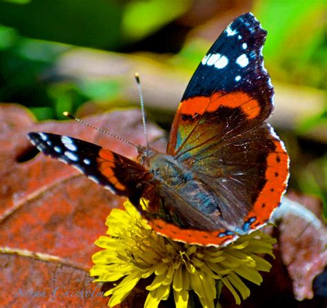 the butterfly red admiral butterfly butterflies