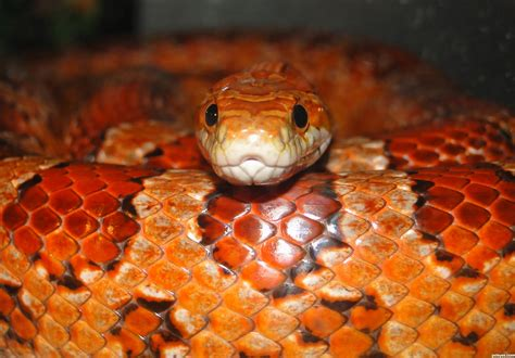 corn snake picture by nevena for snakes photography contest pxleyes com