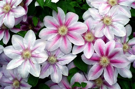 Garden Flowers Of Clematis On The Dacha Wallpapers And Flowers In The Garden Of
