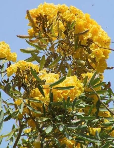 Pohon Trembesi Tabebuya jenis pohon yang indah pelindung dari matahari