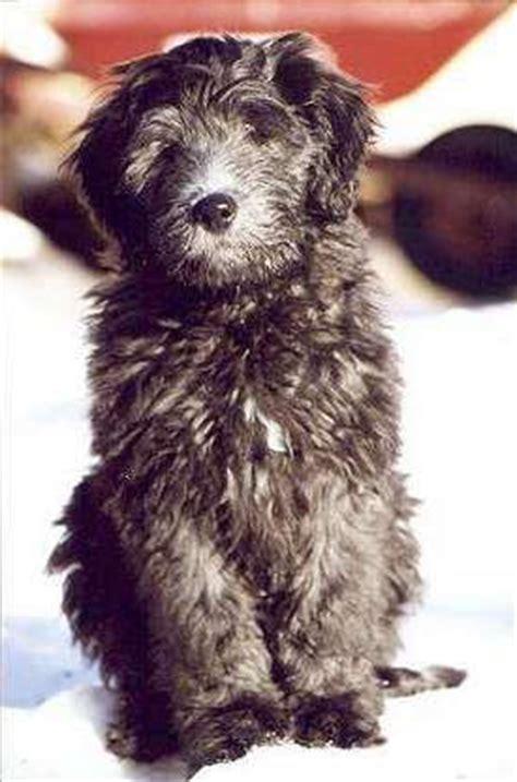 bergamasco puppies bergamasco puppy breed puppies