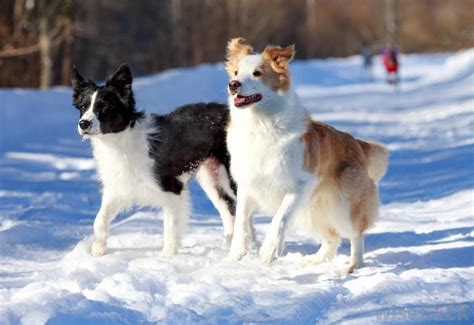 border collie puppies indiana border collies on border collies border collie puppies and border collie pups