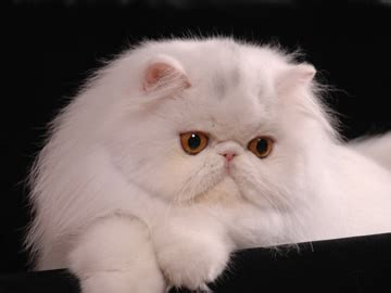 foto dei gatti persiani risultati espositivi gattipersiani it gatti persiani