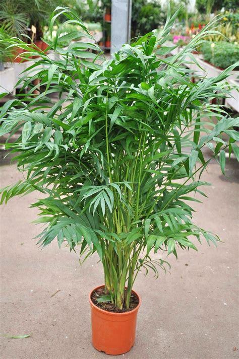 Palmen Bilder Zimmerpflanzen 3583 palmen bilder zimmerpflanzen zimmerpflanzen palmen