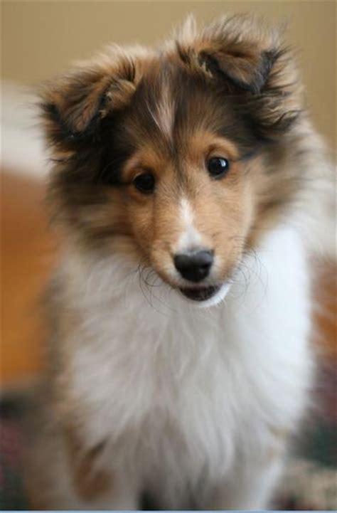 shetland sheepdog puppies shetland sheepdog photos doglers