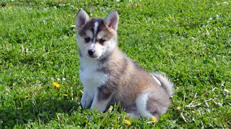 pomsky puppies for sale in illinois pomsky puppies for sale in illinois wallpaper