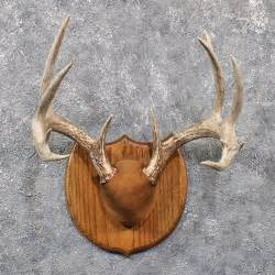 whitetail deer antler plaque 11664 the taxidermy store