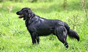 flat coated retriever strong and elegant working retriever dogs planetanimalzone flat coated retriever golden retriever dog and puppies information