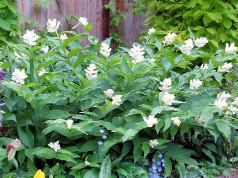 maianthemum racemosum smilacina racemosa