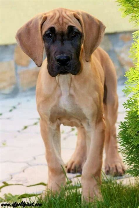 brown great dane puppies brown great dane puppies www pixshark images galleries with a bite