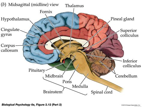 anatomy of the brain diagram human anatomy diagram pineal anatomy of the human brain