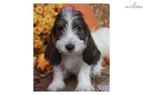 petit basset griffon vendeen puppies for sale petit basset griffon vendeen puppy for sale near sioux city iowa a11dcf6a 4bd1