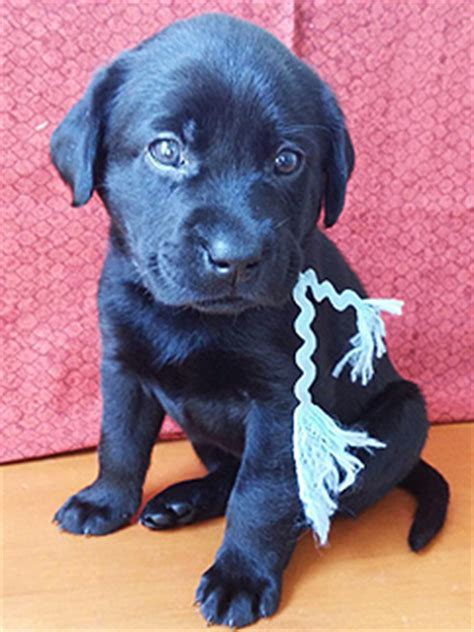 golden retriever puppies for sale san diego black labrador retriever puppies for sale in san diego dogs in our photo
