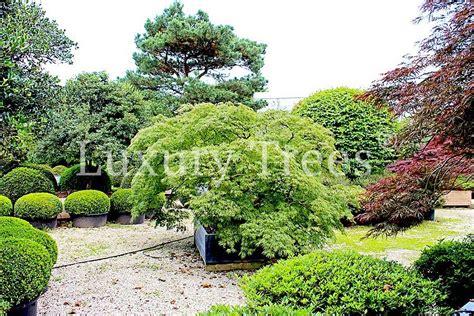Pflege Bonsai 6380 by Acer Palmatum Dissectum 187 Luxurytrees 174 Deutschland