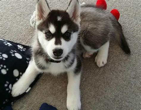 husky malamute puppies meet a alaskan malamute and siberian husky mix puppy 13 pictures