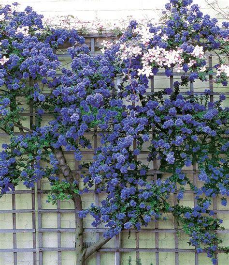 Pflanzen Sichtschutz Terrasse 2518 kletternde s 228 ckelblume ceanothus trewithen blue im 3