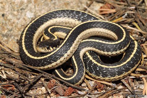 Garter Snake Mountain Gartersnake Thamnophis Elegans Elegans