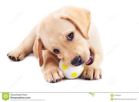 2 month puppy 2 month labrador retriever puppy with a stock photography image 27350502