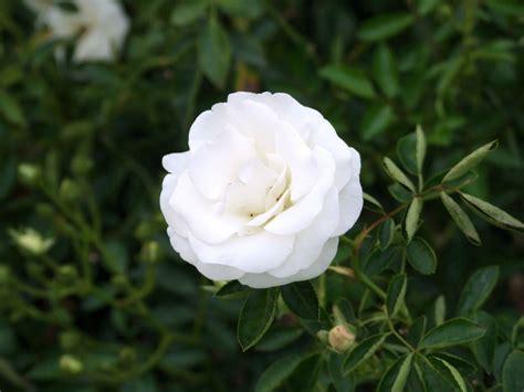 imagenes licras blancas c 243 mo cuidar rosas blancas en 8 pasos