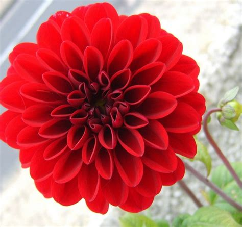 Tanaman Dahlia tanaman dahlia merah jual tanaman hias
