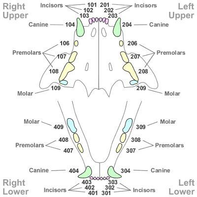 cat teeth diagram tooth numbering in other species