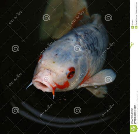 koi fish stock images image