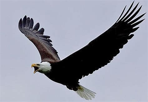 the calling a novel the inn at eagle hill books bald eagle a mighty symbol with a not so mighty voice npr