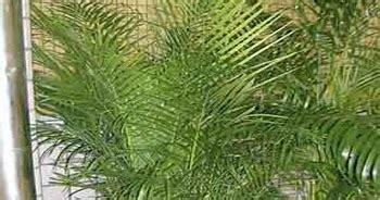 Jual Bibit Oleander jual pohon palem kuning tukang tanaman hias tukang