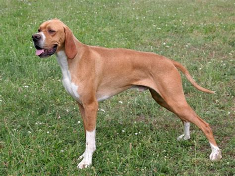 types of pointer dogs pointer
