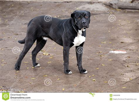 black mastiff puppy big black pedigreed mastiff royalty free stock photos image 24600938