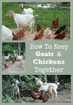 how to raise goats in your backyard raising chickens honey bees together chicken raising