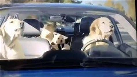 subaru commercial golden retriever subaru commercial with golden retriever at t yahoo search results funnies