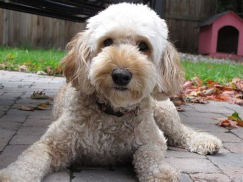 mini goldendoodle ottawa 17 best images about doodle is quot golden quot on