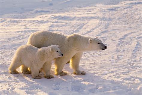 libro polar bear polar bear stock photography 183 a humane nation